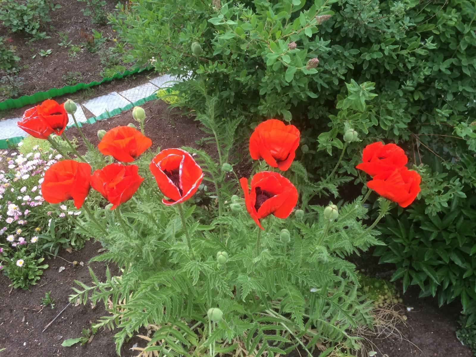 Посадка мака садового